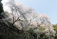 勇壮に咲く「大山桜」