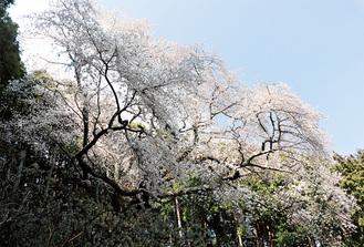 上大桜(4月6日撮影)