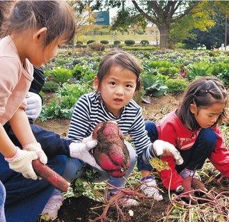 サツマイモ掘りに夢中になる参加者