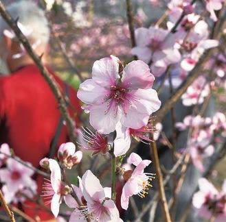 白や桜色のアーモンドの花