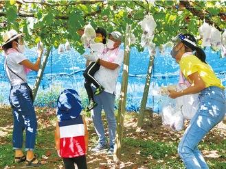 ぶどうを収穫する参加者ら=8月29日