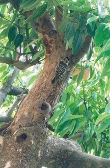 自宅庭のニッキの木にとまるコゲラらしき鳥