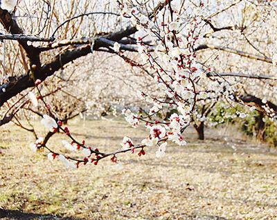 梅畑で春の足おと