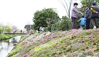 芝桜の見頃は下旬
