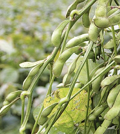 黒枝豆が収穫を迎える