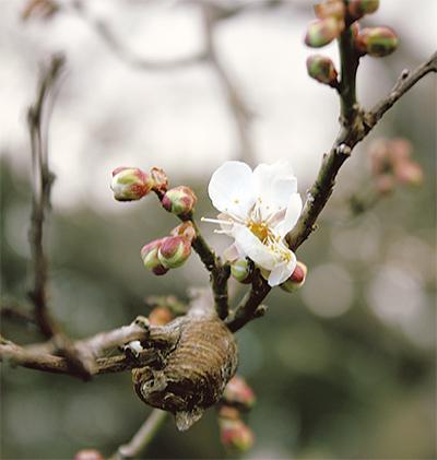 春を告げる小さな一輪