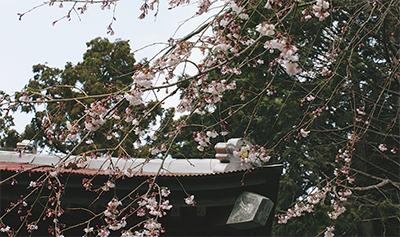 一足早く桜の便り