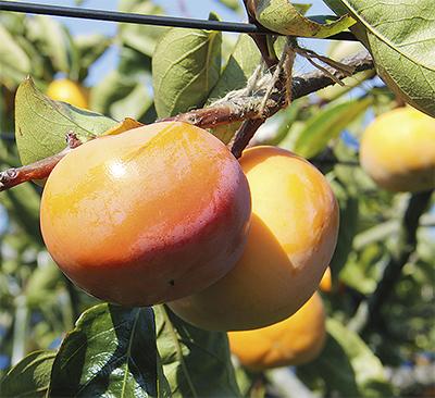 甘さ充分 柿が豊作