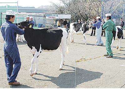 乳牛の美しさ競う