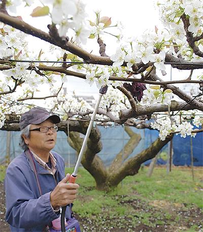 春の風物詩「花粉付け」