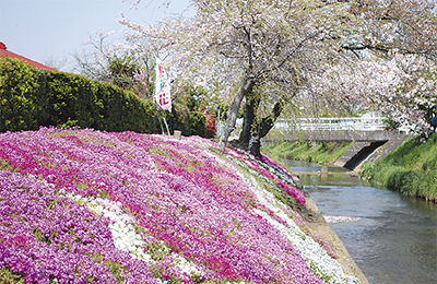 渋田川にピンクの絨毯
