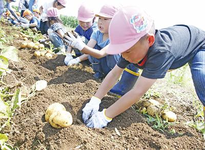 園児たちの手で収穫