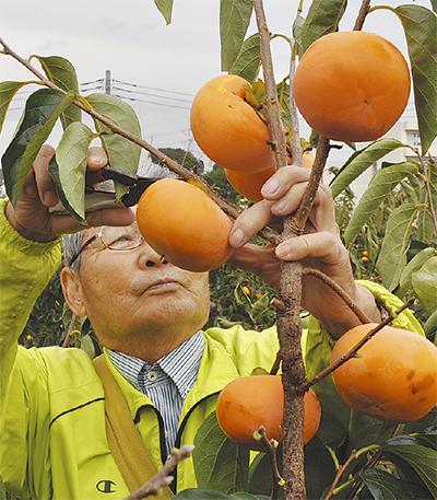 伊勢原の柿、今年も豊作