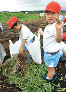 園児500人 畑で収穫体験