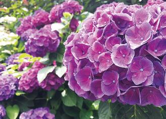 梅雨に咲くアジサイの花