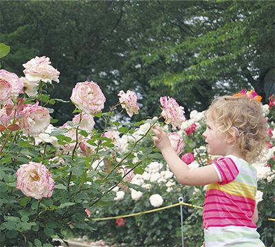 市の花バラが満開