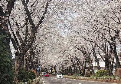 春爛漫 桜のトンネル