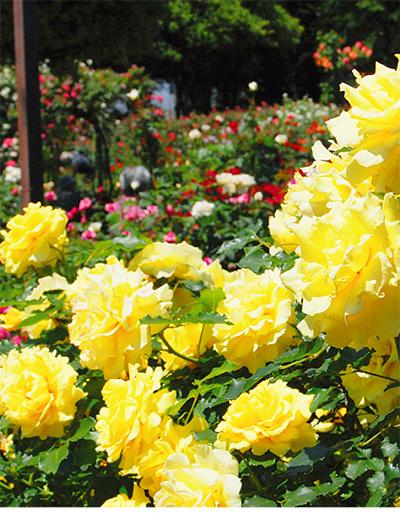 風に香る光綾のバラ