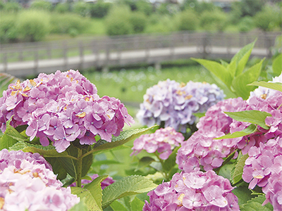 アジサイの花これから見ごろ