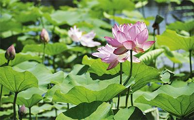 湿生園にハスの花