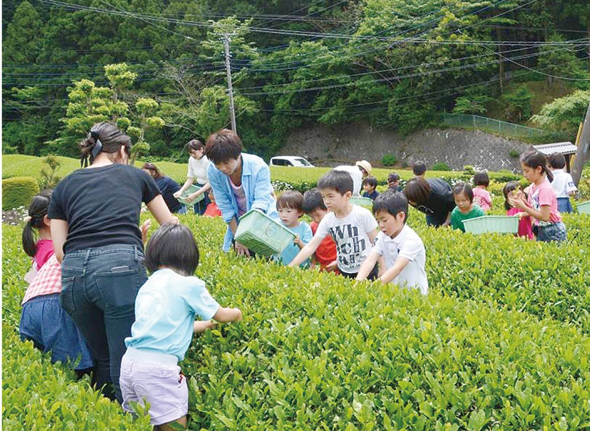 緑の里山で茶摘み体験