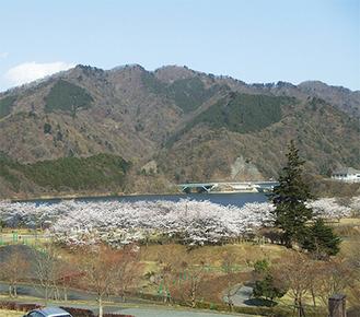 宮ヶ瀬湖畔園地周辺の桜の木(昨年)