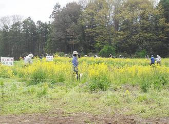 会場で菜の花の摘み取りを楽しむ来場者たち