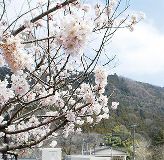 村役場前に植栽されている春めき