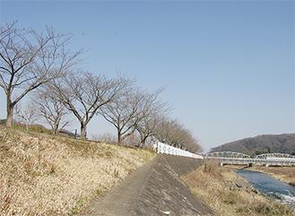 ライトアップされる中津川沿いの桜並木