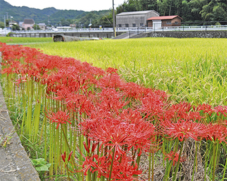 秋風に揺れる彼岸花(9月18日撮影)