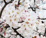 枝からこぼれんばかりに咲く満開の花