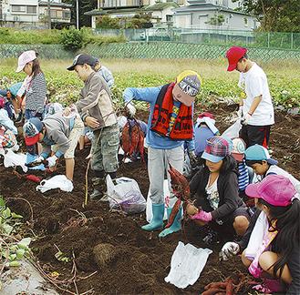 サツマイモを収穫する児童たち