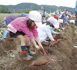 力いっぱいイモを引っ張る児童たち