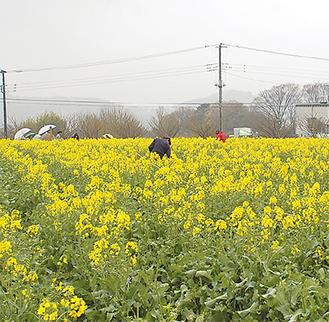 一面に咲く菜の花