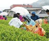 新緑の清川で茶摘み