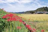 真紅と稲の黄金、秋空が美しい八菅橋周辺