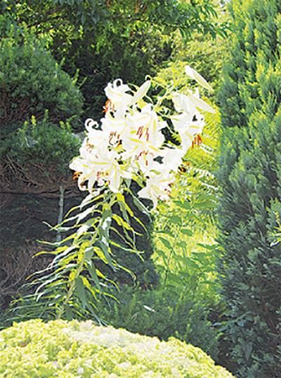 花いっぱいのヤマユリ