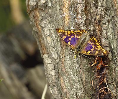 愛川周辺のチョウ