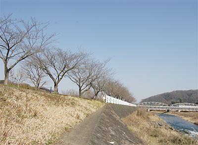 田代の桜 初ライトアップ