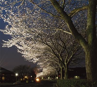 田代の桜を見に行こう