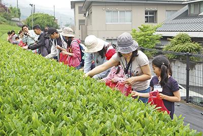 風薫る5月の茶摘み