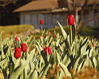 赤く咲き始めたアイスチューリップ(=今月17日撮影)