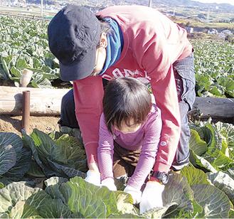 今年1月に行ったキャベツの収穫体験