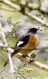 写真はお腹のオレンジ色が特徴のジョウビタキ。他にノスリ・ツグミなどが見られるという