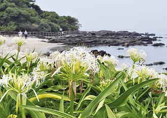 白い花が潮風に揺れる(=24日撮影)