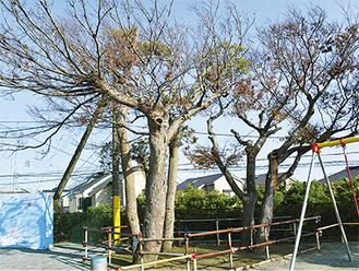 校庭に植えられている高さ10mのけやき