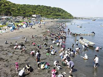 三浦半島唯一の潮干狩り場で例年2万人近い客が来訪