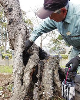 空洞化した桜の樹に薬品を塗布する