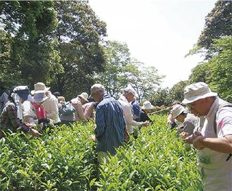 公園の一角に広がる茶畑