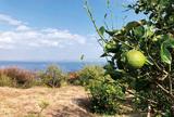 東京湾の絶景とレモン狩り